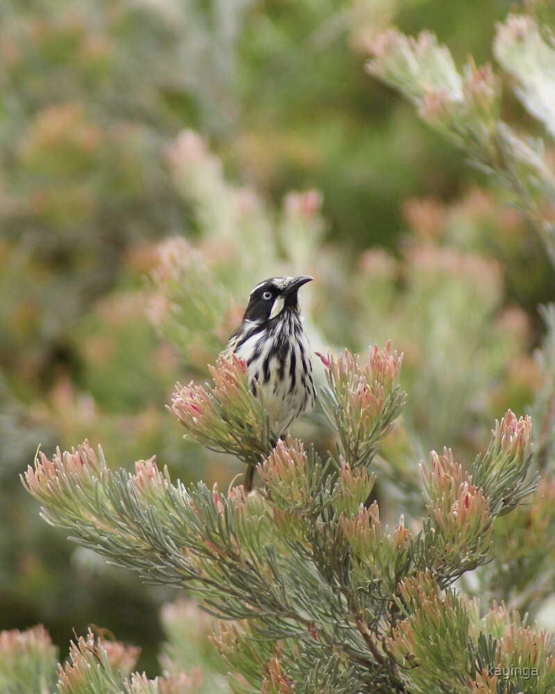 New Holland in Grevillea by kayinga