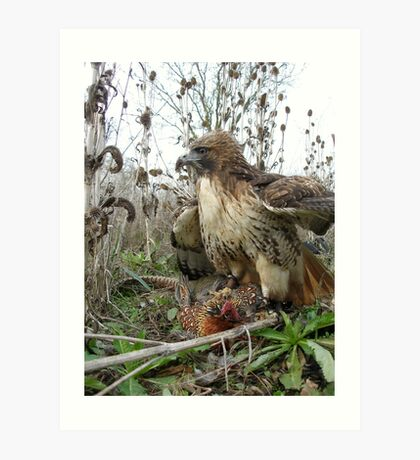 Red Tailed Hawk on a Pheasant Art Print