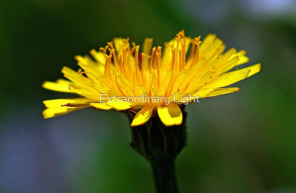 Sunshine - tiny yellow Field Daisy by Extraordinary Light