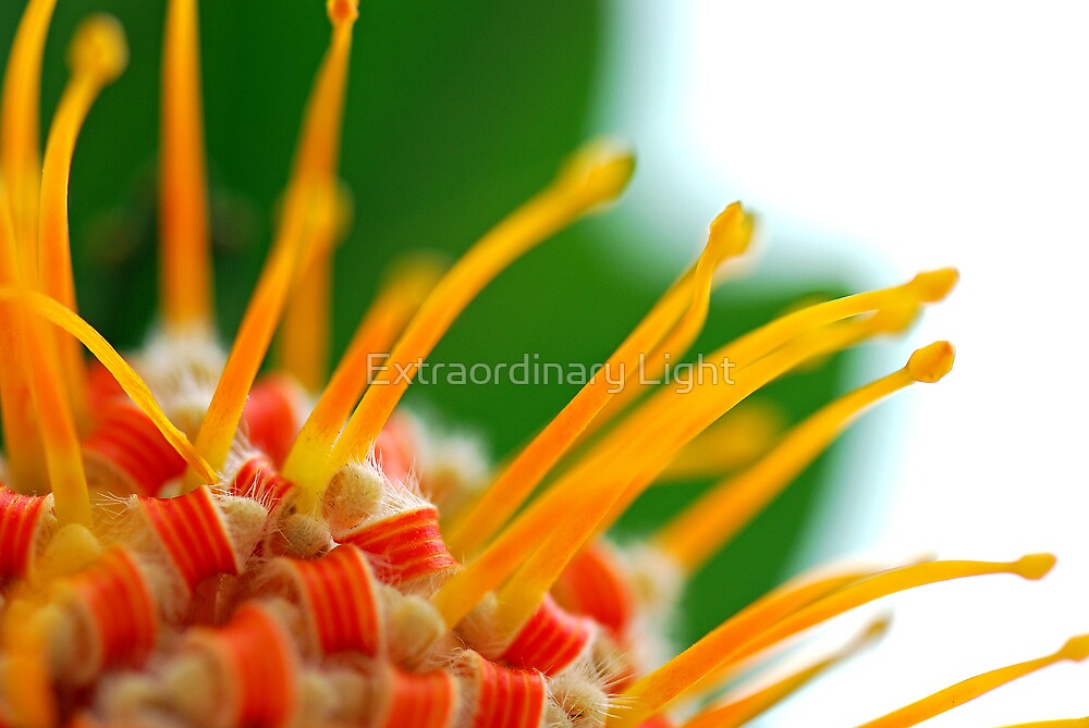 Candy - Pincushion Protea by Extraordinary Light