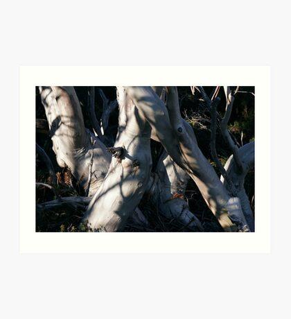 Snowgum Trunks Art Print
