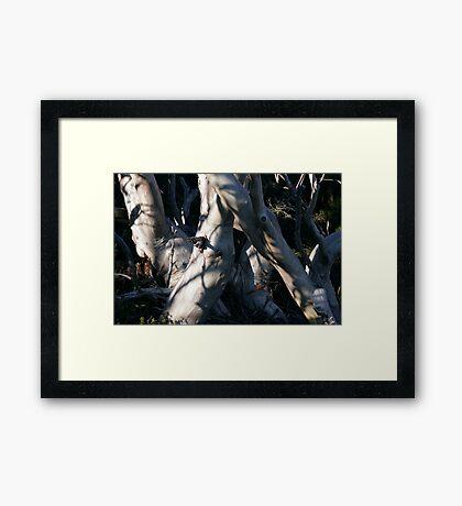 Snowgum Trunks Framed Print