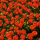 Red Tulips by Stanton Hooley