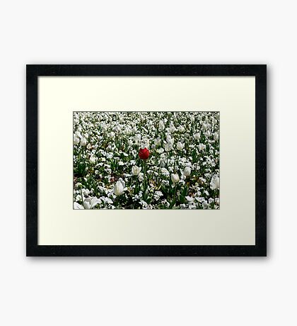 Lonely Red Tulip Framed Print