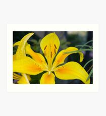 Pollyanna (Asiatic Lily) Art Print
