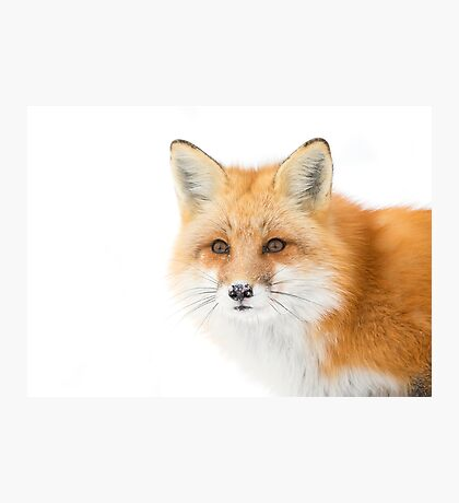 Red fox in Algonquin Park, Canada Photographic Print