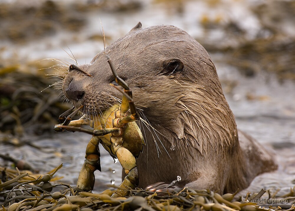 Tussling with a crab by wildlifephoto