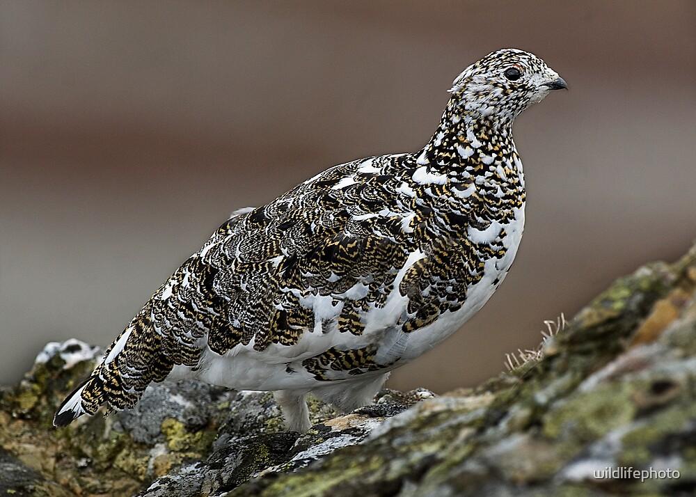 Ptarmigan by wildlifephoto