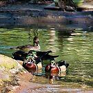 Wood Ducks by TJ Baccari Photography