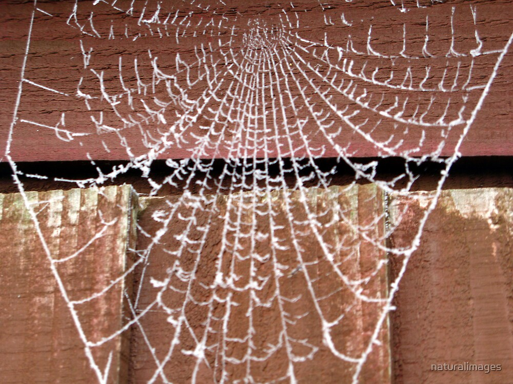 frosty cobweb by naturalimages