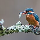 Mrs Kingfisher by Stephen Liptrot