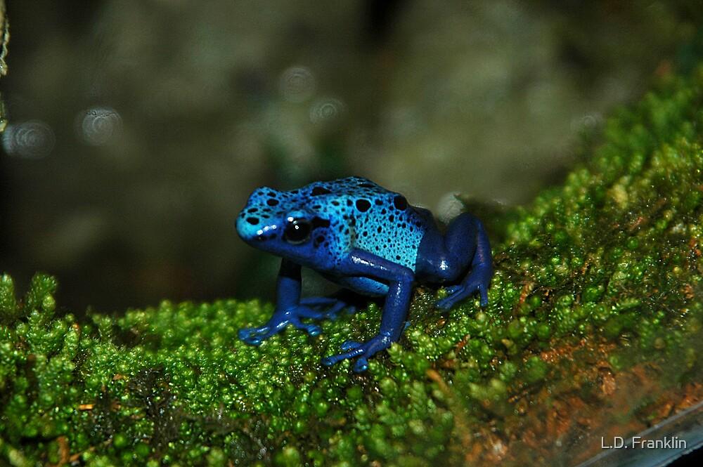 Poison Dart Frog by L.D. Franklin