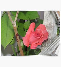 Coral Country Rose Poster