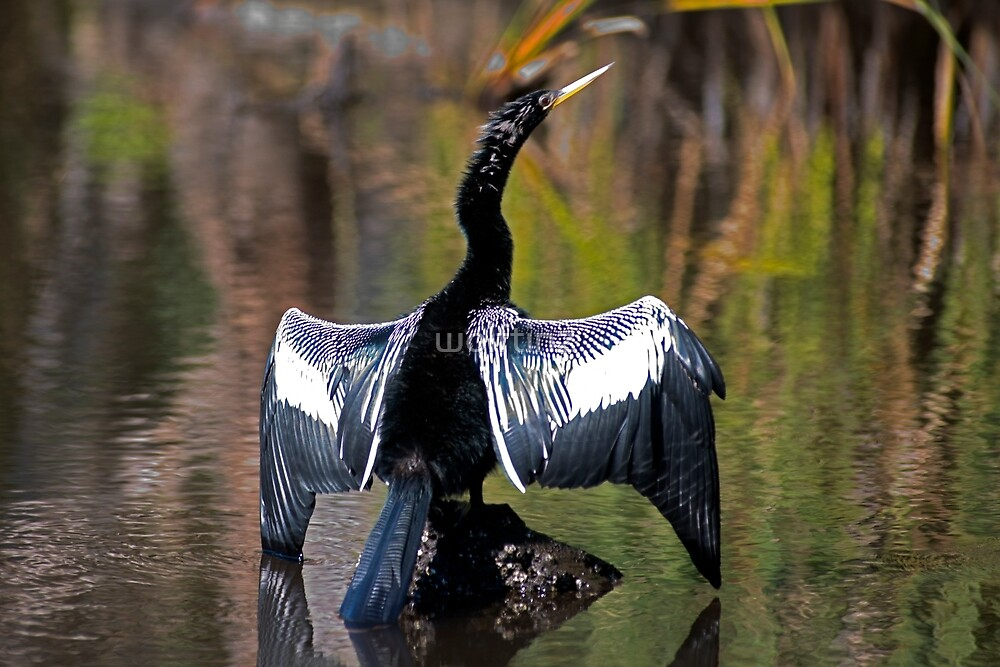 Anhinga Drying it's Wings by wolftinz