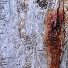 Scribbly Gum by garts