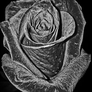Silver Rose by nlittle