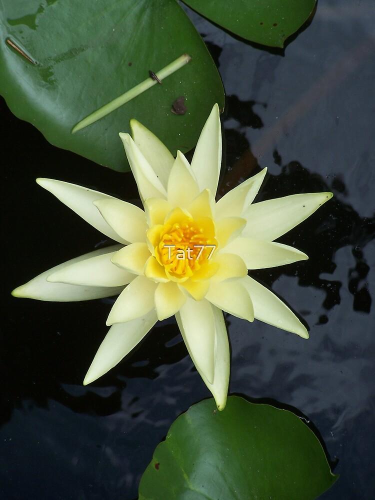 Beautiful Water Lily by Tat77