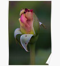 Interesting Rose Bud Poster