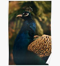 Beautiful colourful peacock outdoors in the daytime. Poster