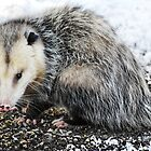O!  (a) Possum! by Laurie Minor