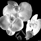 BW Orchid by saseoche