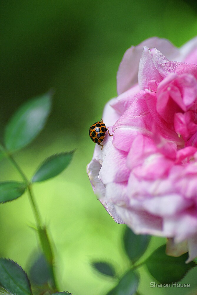 Ladybird Rose by Sharon House