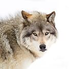 Timber Wolf in winter by Jim Cumming