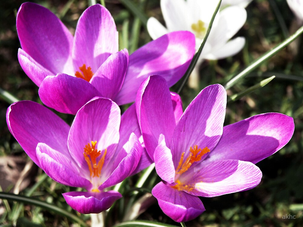 Crocuses by akhc