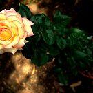 ~Jacky's Rose~ by a~m .