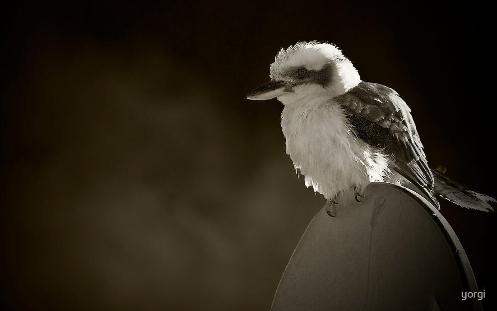 Kookaburra by yorgi
