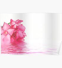 Pink oleander flowers close up  Poster