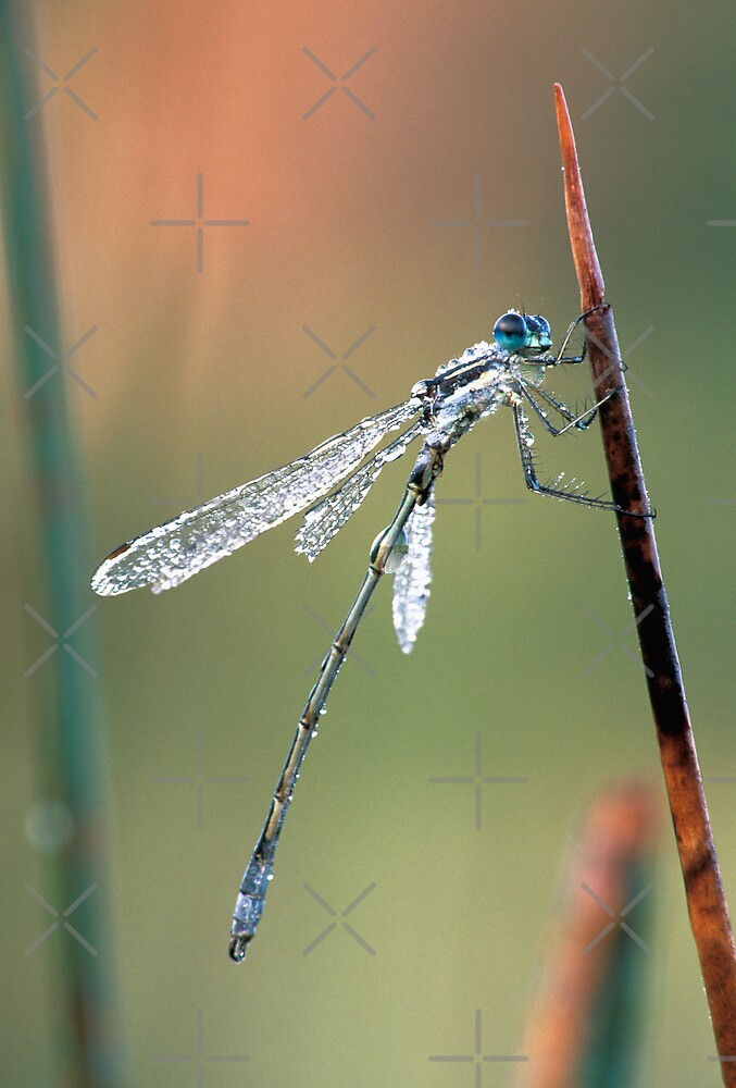 Damselfly by Bill Spengler
