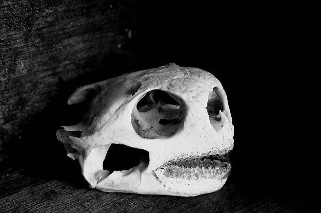 Tortoise Skull Profile by Dennis Blauer