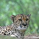 Cheetah by Karl R. Martin