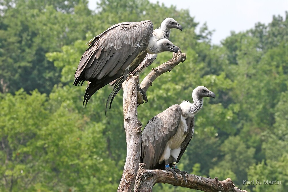 Vultures by Karl R. Martin