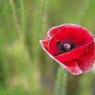 The Poppy by shutterjunkie