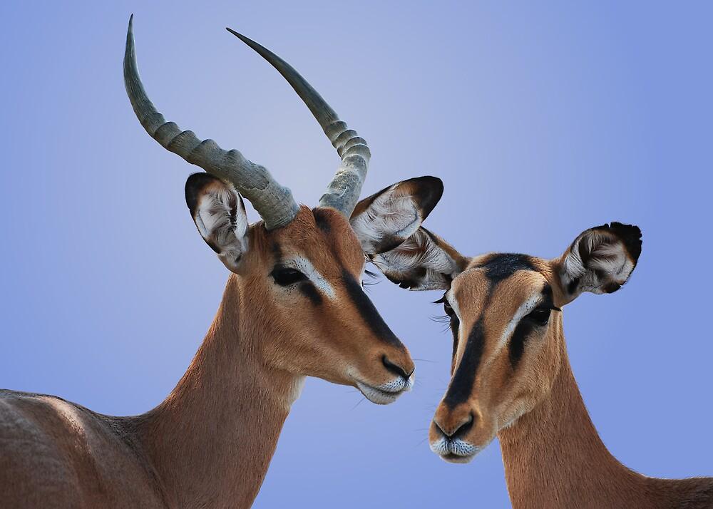 BLACK FACED IMPALAS - NAMIBIA by Michael Sheridan