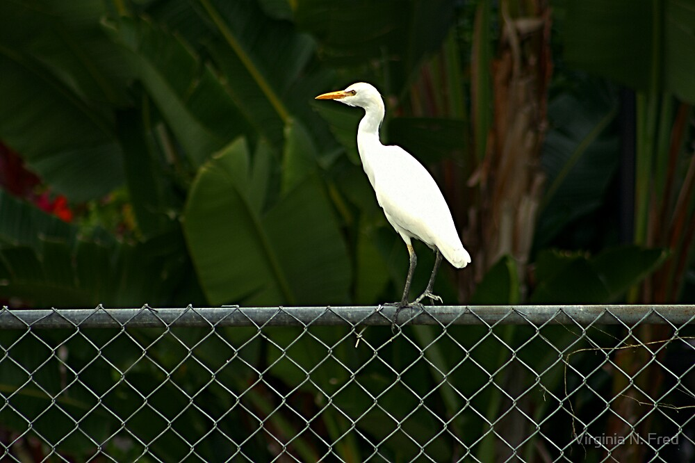 White Egret by Virginia N. Fred