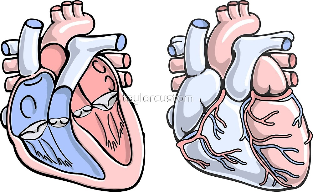Menschliche Herz-Anatomie-Illustration\