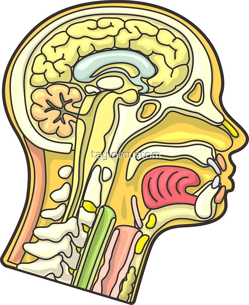 Ilustración de la sección transversal de la anatomía de la cabeza ...