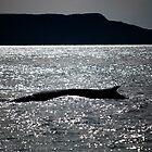 Fin Whale by Steve Hunter