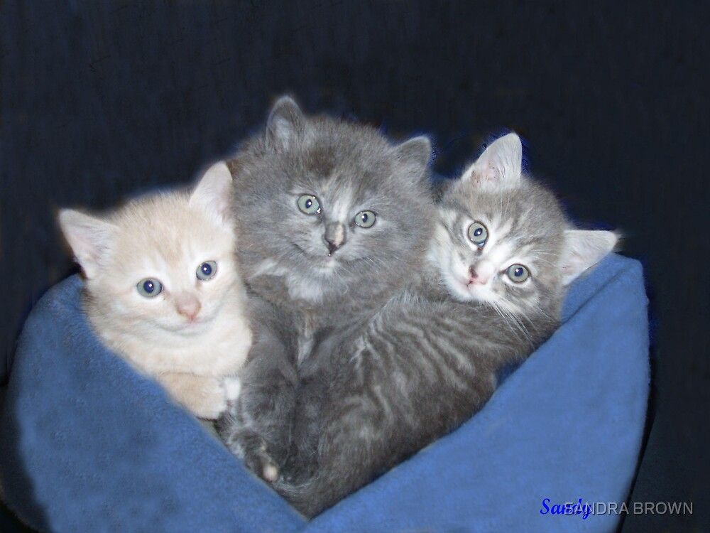 Three kittens in a Blanket by SANDRA BROWN
