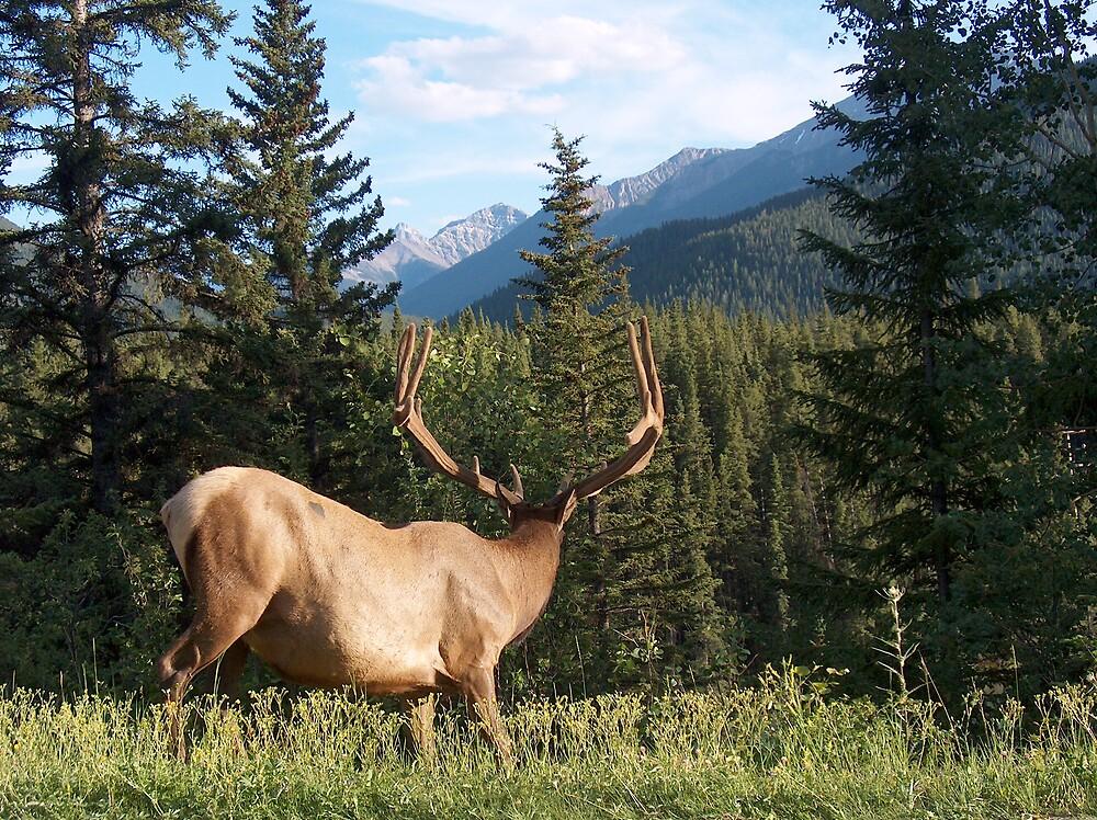 Elk by Matt Rhodes