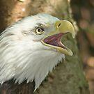 Bald Eagle by Karl R. Martin