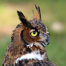 Great Horned Owl by Karl R. Martin