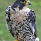 Peregrine Falcon by Karl R. Martin