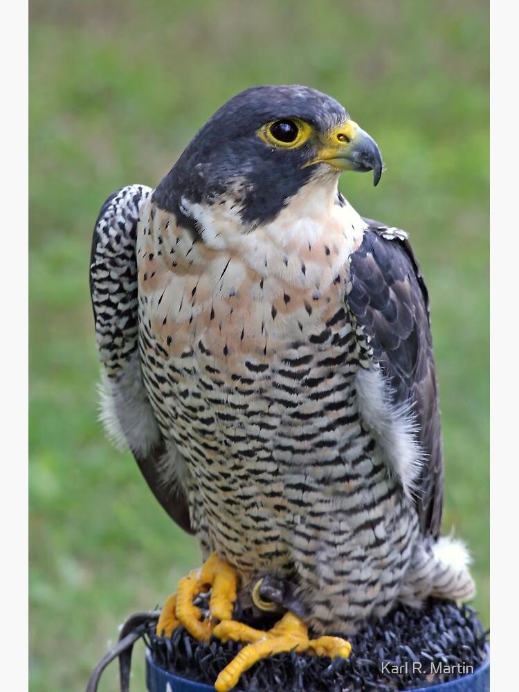 Peregrine Falcon by SirEagle