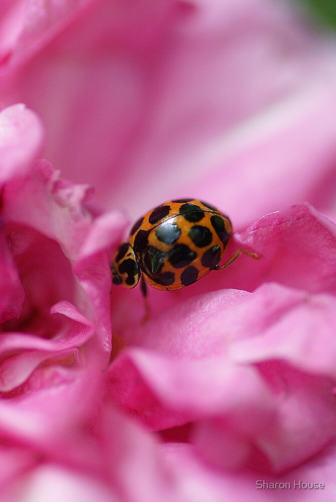 Ladybird Lullaby by Sharon House