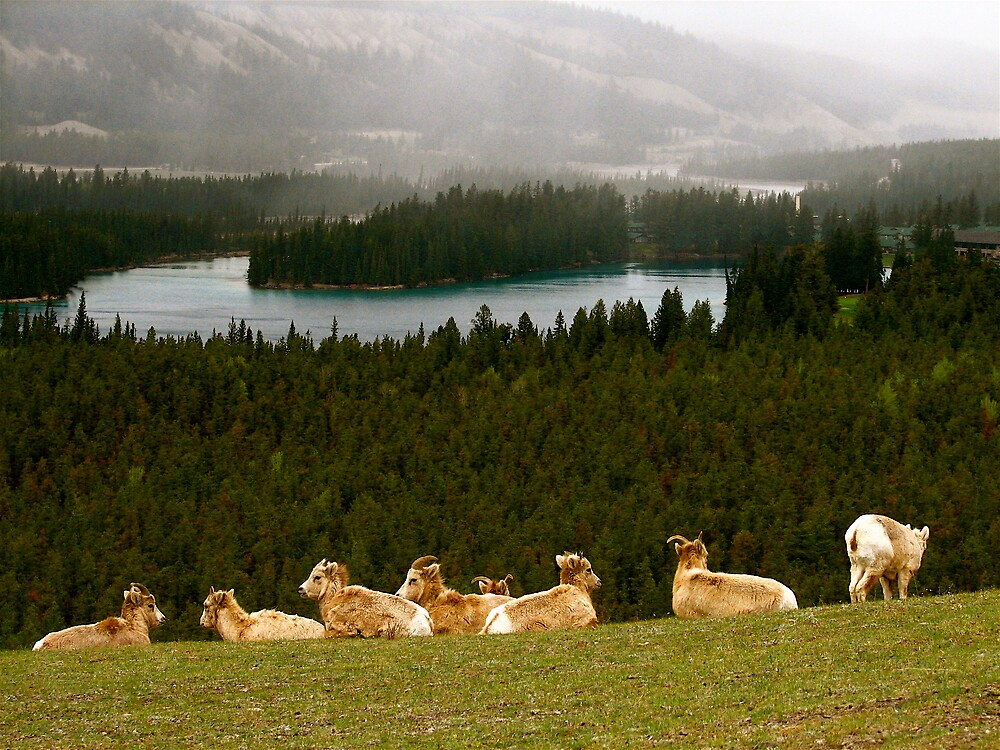 Big Horn Sheep in the Canadian Rockies by C1oud