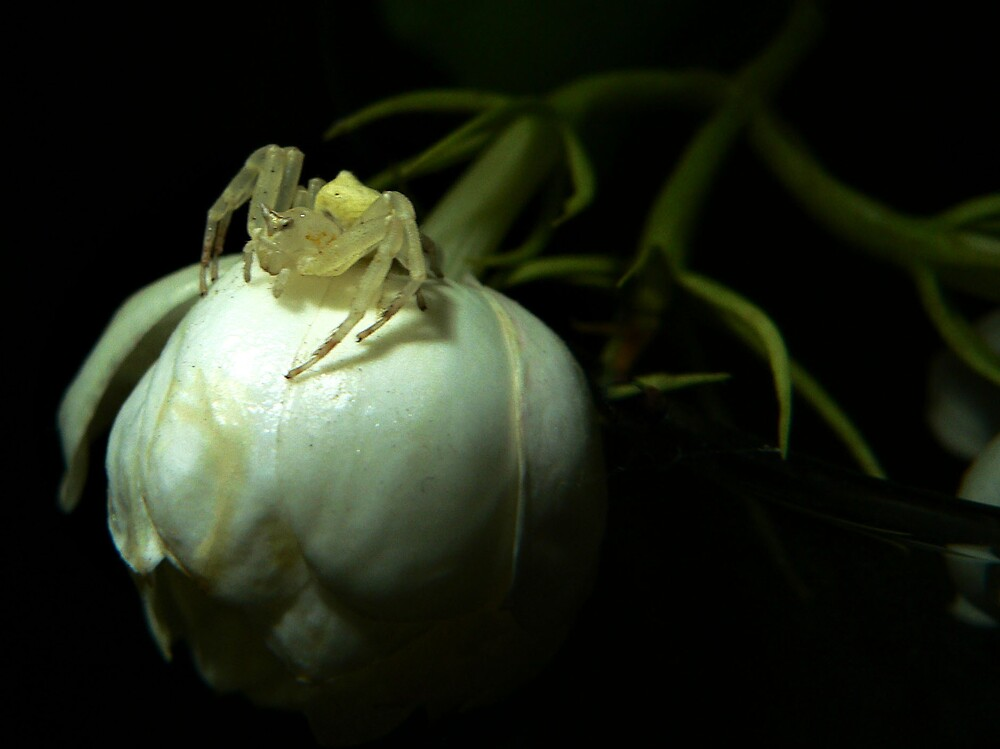 Crab Spider II by ignite